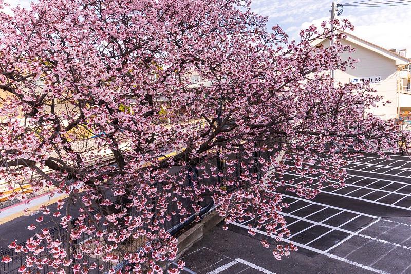 Prologue! 2021桜咲く京都 桃山駅の寒桜_f0155048_21181981.jpg