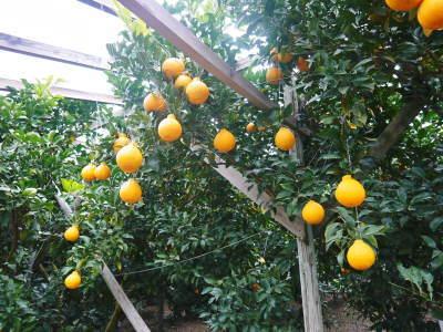 デコポン(肥後ポン) 熊本限定栽培品種の『ひのゆたか』2021年分はファミリータイプのみとなりました!_a0254656_17445458.jpg