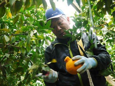 デコポン(肥後ポン) 熊本限定栽培品種の『ひのゆたか』2021年分はファミリータイプのみとなりました!_a0254656_17470489.jpg