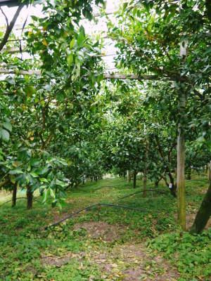 デコポン(肥後ポン) 熊本限定栽培品種の『ひのゆたか』2021年分はファミリータイプのみとなりました!_a0254656_18001444.jpg