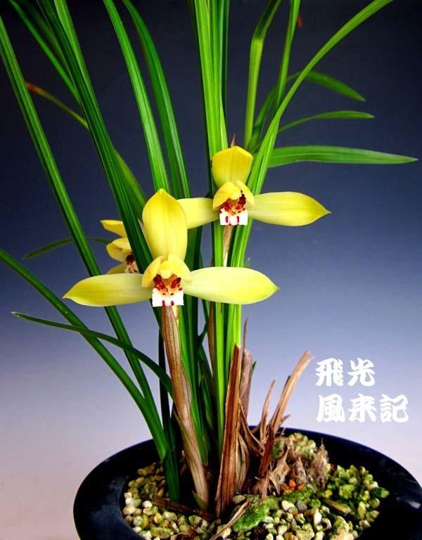 豆弁蘭・飛光          No.2081_d0103457_23183282.jpg