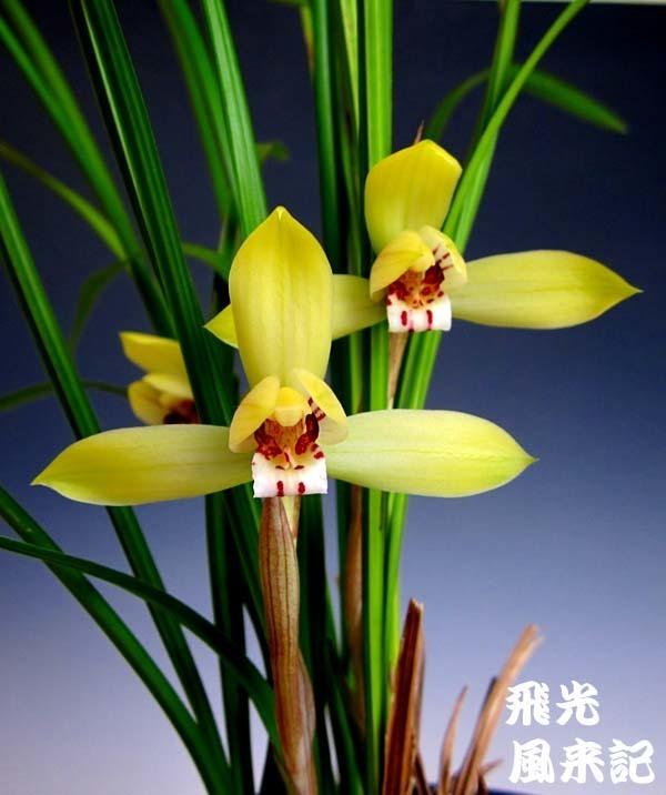 豆弁蘭・飛光          No.2081_d0103457_23190078.jpg