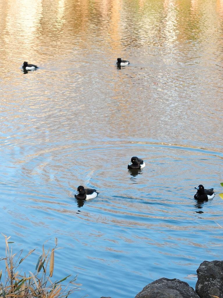 ある風景:Kikuna pond, Yokohama@Dec~Jan #3/fin_d0393923_09480927.jpg
