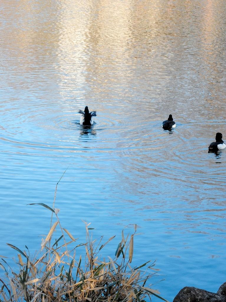 ある風景:Kikuna pond, Yokohama@Dec~Jan #3/fin_d0393923_09480942.jpg