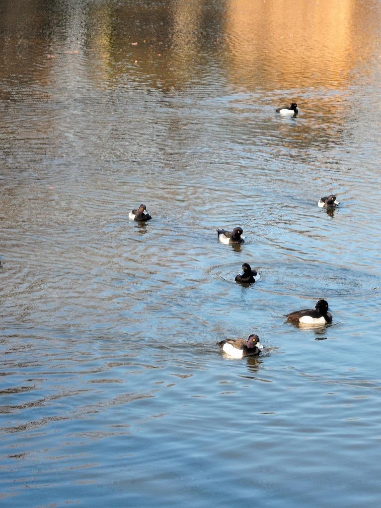 ある風景:Kikuna pond, Yokohama@Dec~Jan #3/fin_d0393923_09481026.jpg