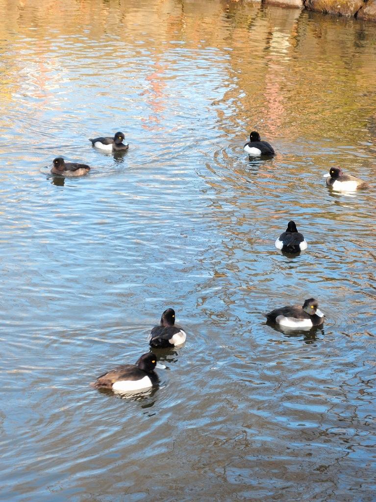 ある風景:Kikuna pond, Yokohama@Dec~Jan #3/fin_d0393923_09482161.jpg