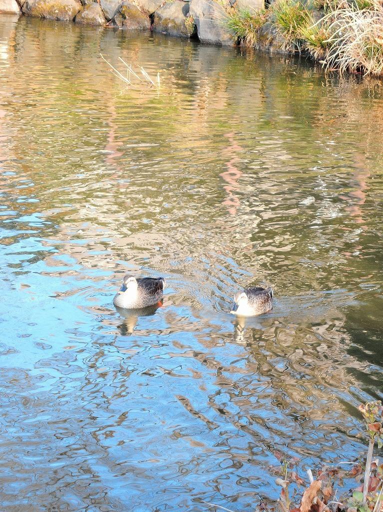 ある風景:Kikuna pond, Yokohama@Dec~Jan #3/fin_d0393923_09483407.jpg