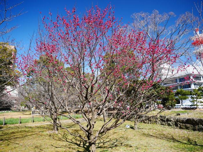 和歌山城公園の梅  2021-02-19 00:00_b0093754_23432029.jpg