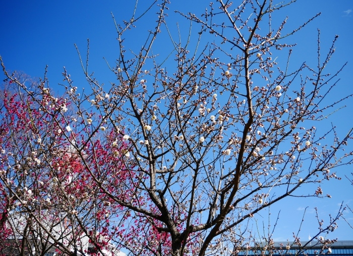 和歌山城公園の梅  2021-02-19 00:00_b0093754_23434276.jpg