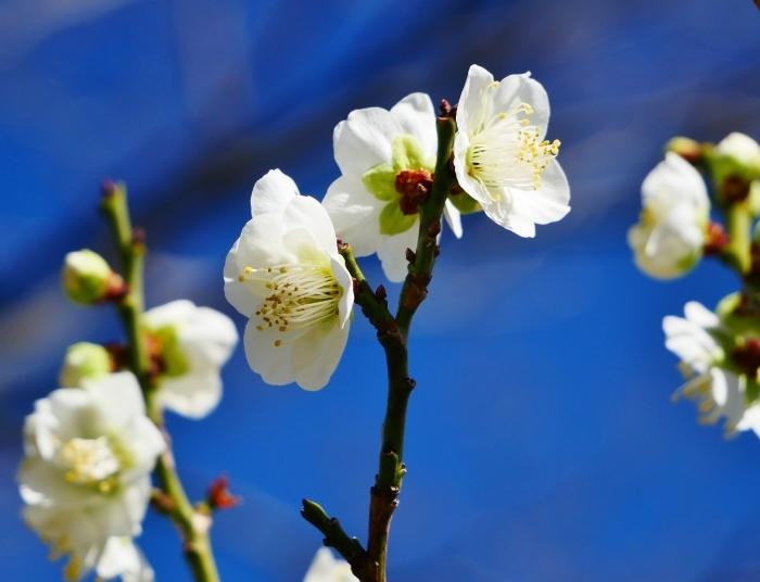 和歌山城公園の梅  2021-02-19 00:00_b0093754_23435296.jpg