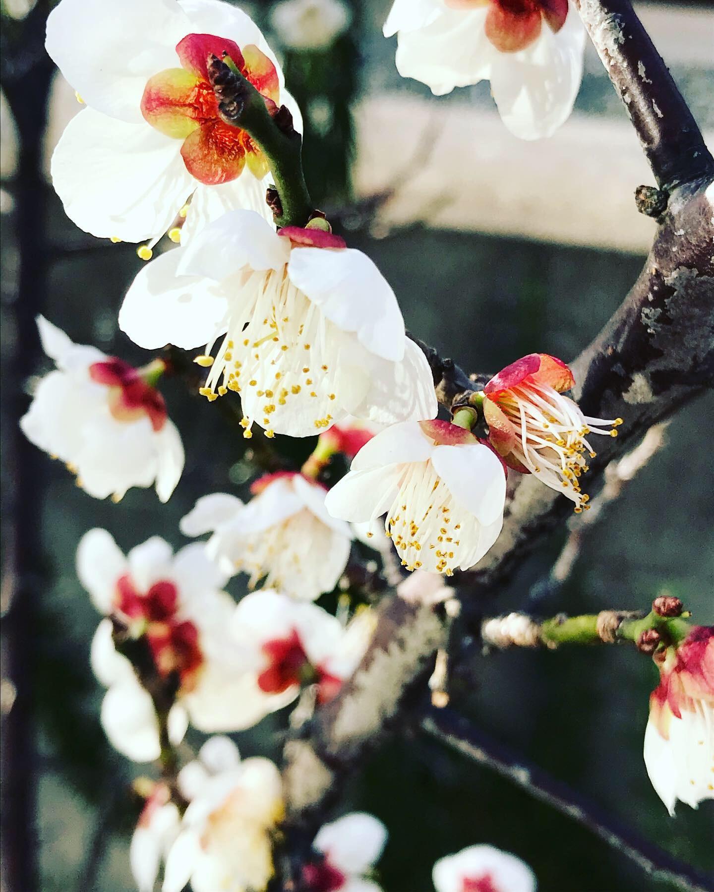 梅の季節_f0206741_09453445.jpeg