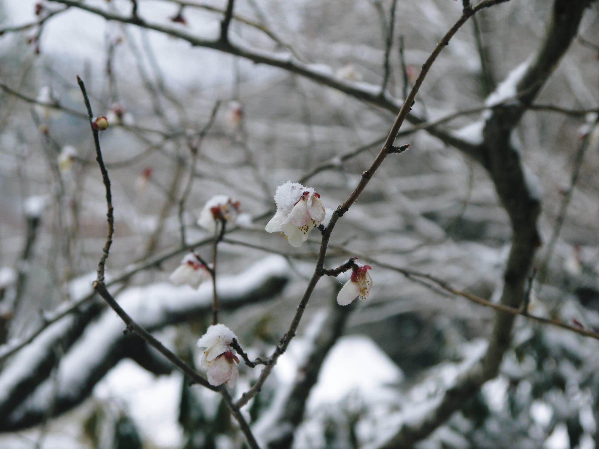 株式会社旬援隊の冬の様子2021 春と思い咲き始めた花々に雪が積もっています!_a0254656_14362623.jpg