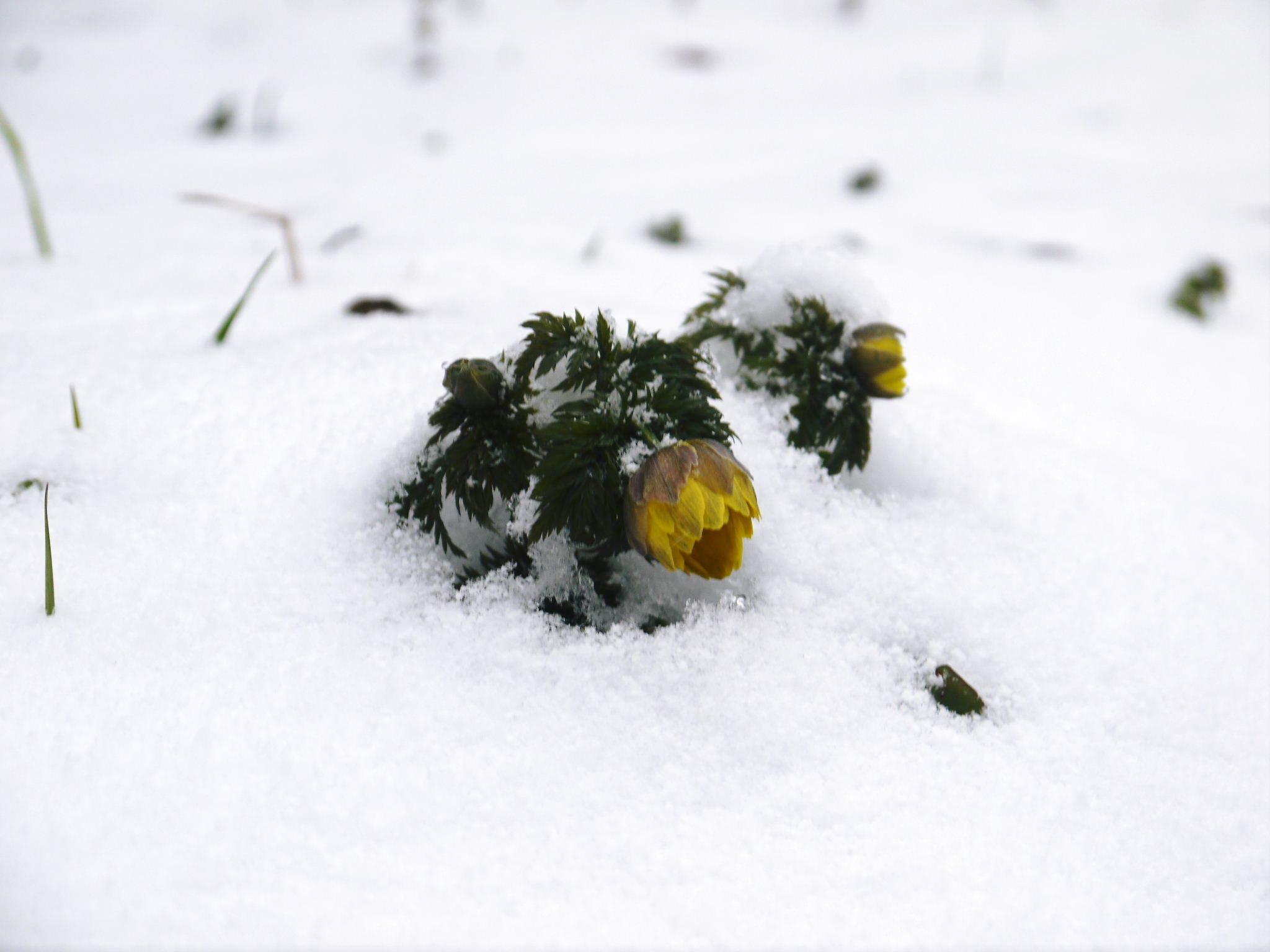 株式会社旬援隊の冬の様子2021 春と思い咲き始めた花々に雪が積もっています!_a0254656_14414348.jpg