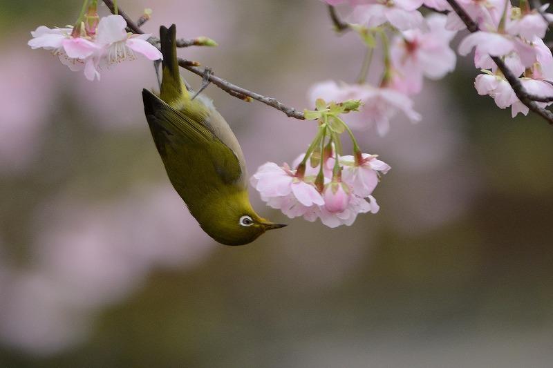 続・続 メジロと大漁桜_a0382054_06395714.jpg