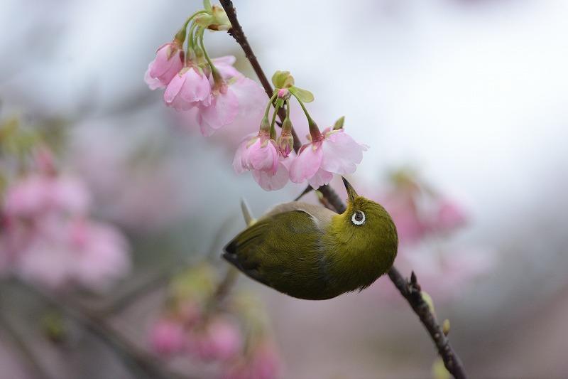 続・続 メジロと大漁桜_a0382054_06400955.jpg