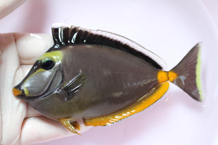 本日の入荷!20210219 海水魚/Frag_c0100355_15593920.jpg