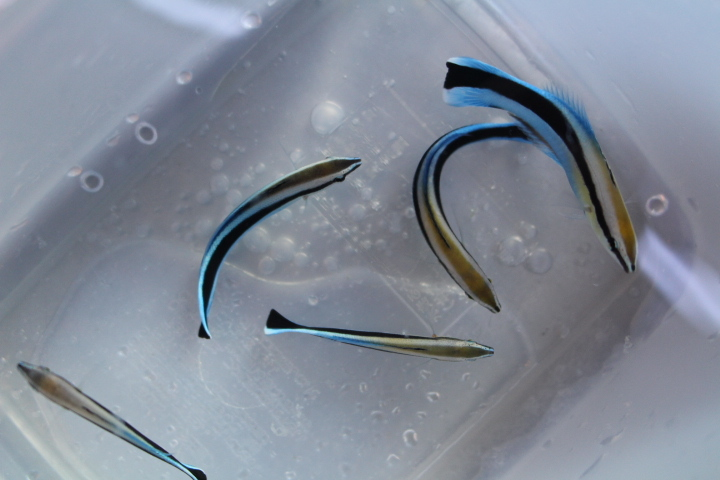 本日の入荷!20210219 海水魚/Frag_c0100355_16000722.jpg