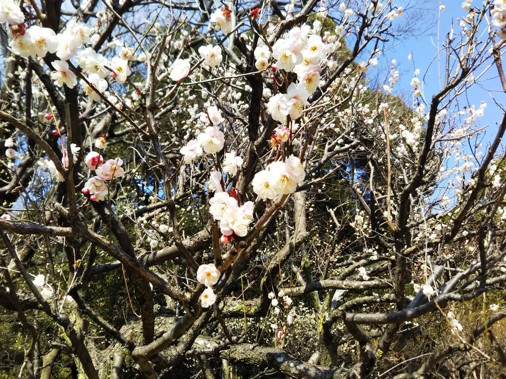 梅をたずねて カメさん歩き 『保久良神社梅林』_c0218841_17274085.jpg