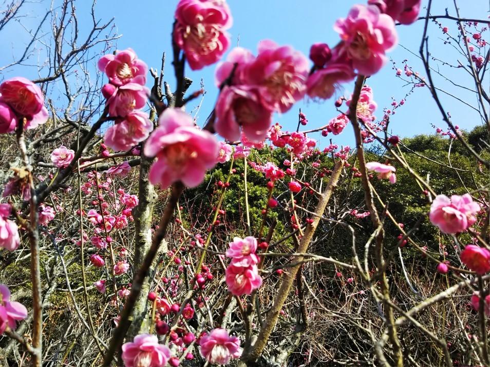 梅をたずねて カメさん歩き 『保久良神社梅林』_c0218841_17274900.jpg