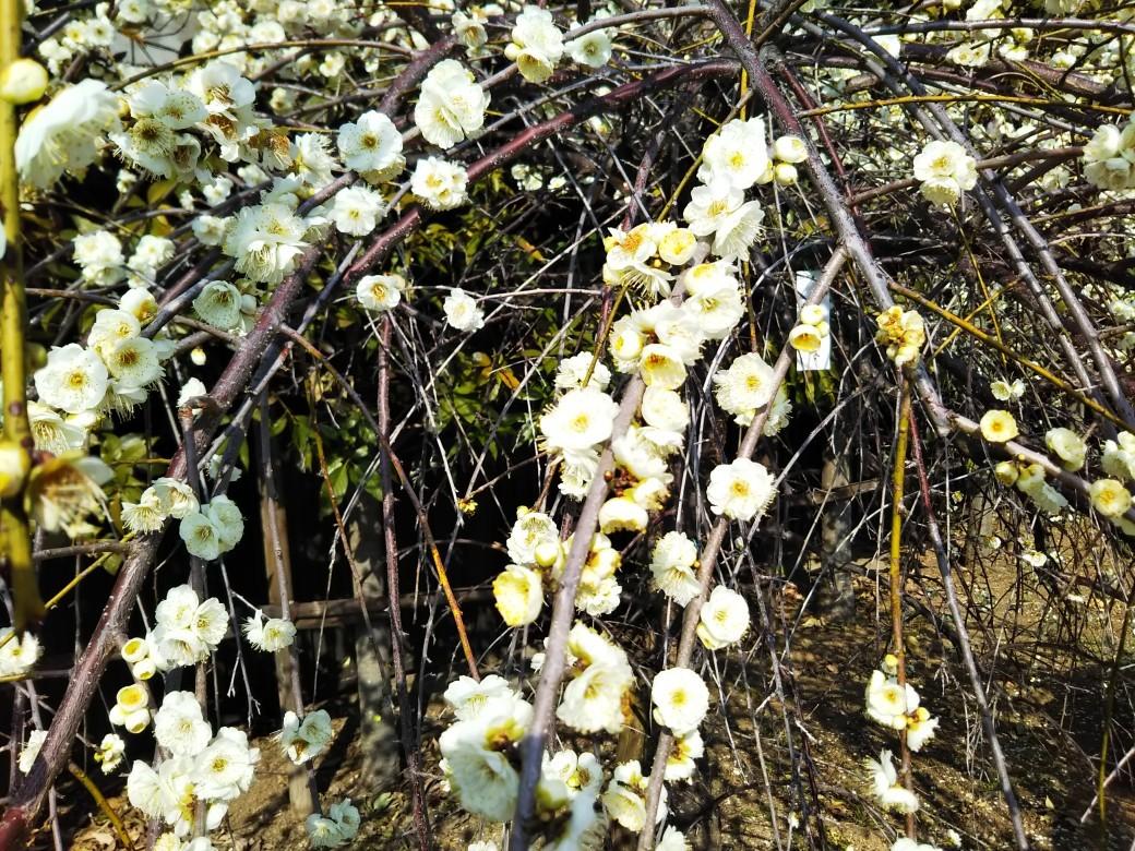 梅をたずねて カメさん歩き 『保久良神社梅林』_c0218841_17275599.jpg
