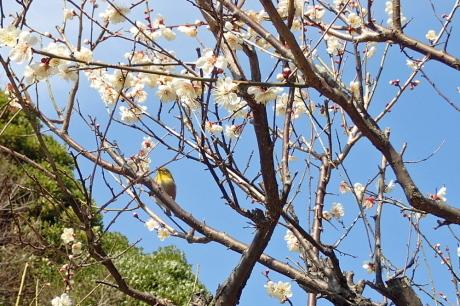 梅をたずねて カメさん歩き 『保久良神社梅林』_c0218841_20492988.jpg