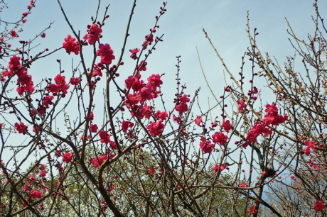 梅をたずねて カメさん歩き 『保久良神社梅林』_c0218841_20493298.jpg