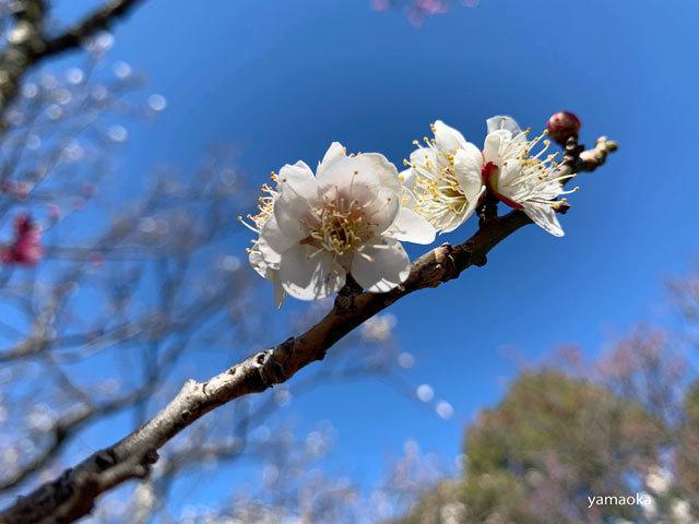 梅咲いてどこまでも歩いていける靴。_f0071480_16463329.jpg