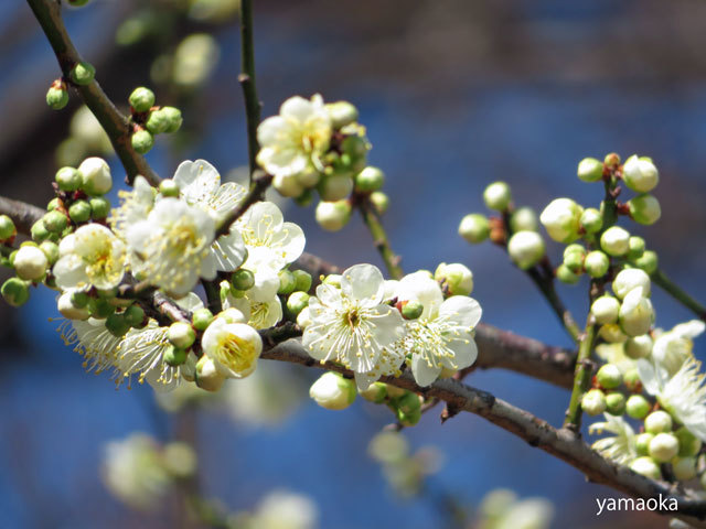 梅咲いてどこまでも歩いていける靴。_f0071480_16463878.jpg