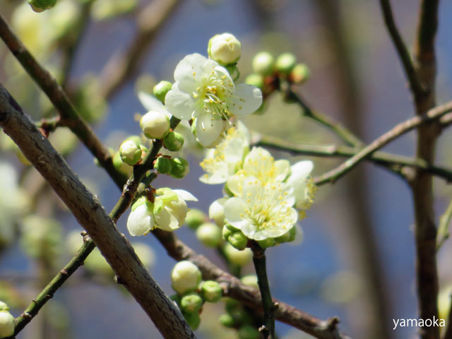 梅咲いてどこまでも歩いていける靴。_f0071480_16463905.jpg