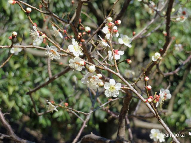 梅咲いてどこまでも歩いていける靴。_f0071480_16464290.jpg