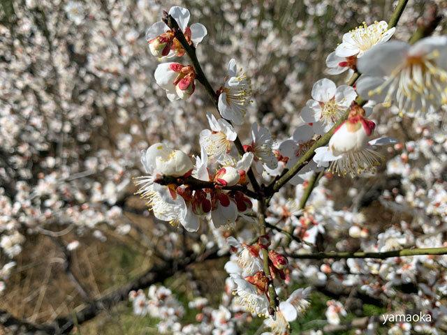 梅咲いてどこまでも歩いていける靴。_f0071480_16464474.jpg