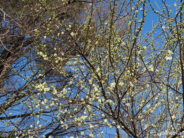 梅咲いてどこまでも歩いていける靴。_f0071480_16471018.jpg