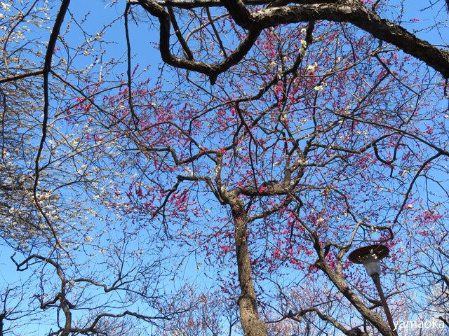 梅咲いてどこまでも歩いていける靴。_f0071480_16471405.jpg