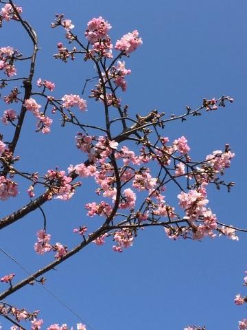 早咲き桜_f0002533_14323722.jpeg