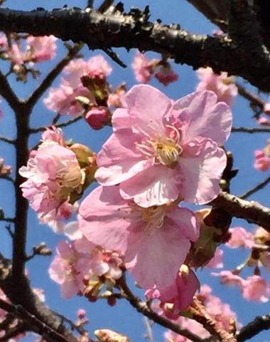早咲き桜_f0002533_14325572.jpeg