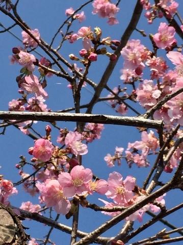 早咲き桜_f0002533_14332336.jpeg