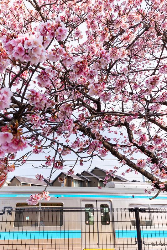 Prologue! 2021桜咲く京都 桃山駅の寒桜_f0155048_23524857.jpg