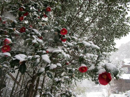 藪椿に雪(2/18)_d0336460_00092506.jpg
