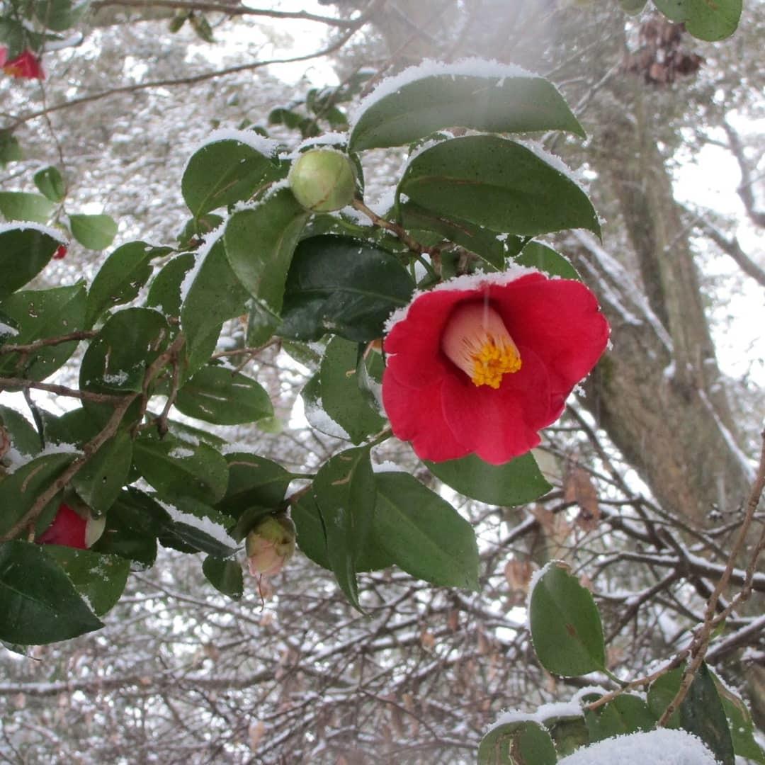 藪椿に雪(2/18)_d0336460_00111529.jpg