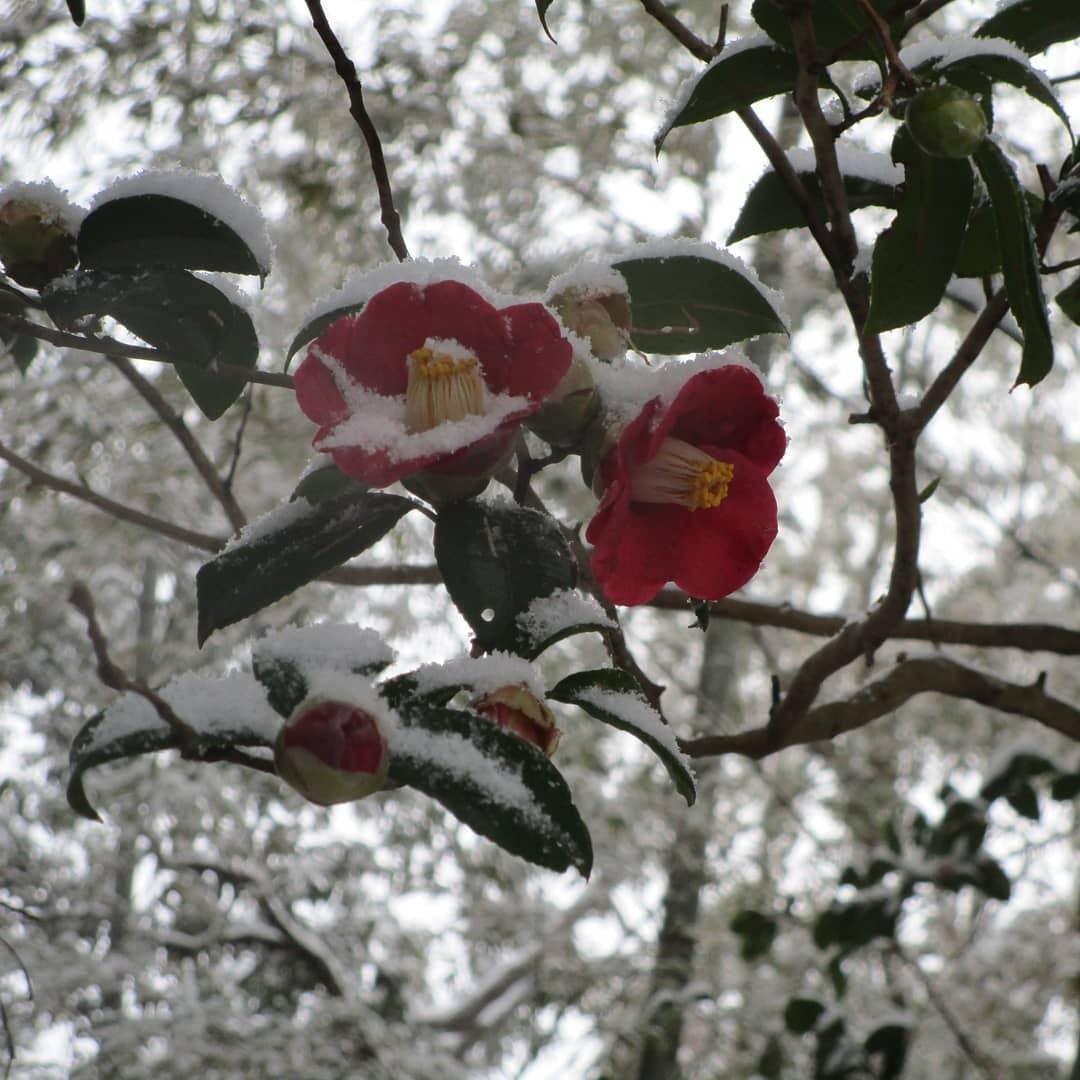 藪椿に雪(2/18)_d0336460_00132102.jpg