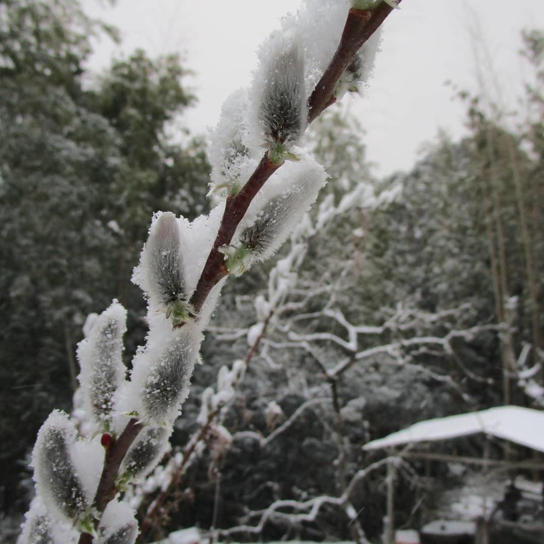 藪椿に雪(2/18)_d0336460_00141212.jpg