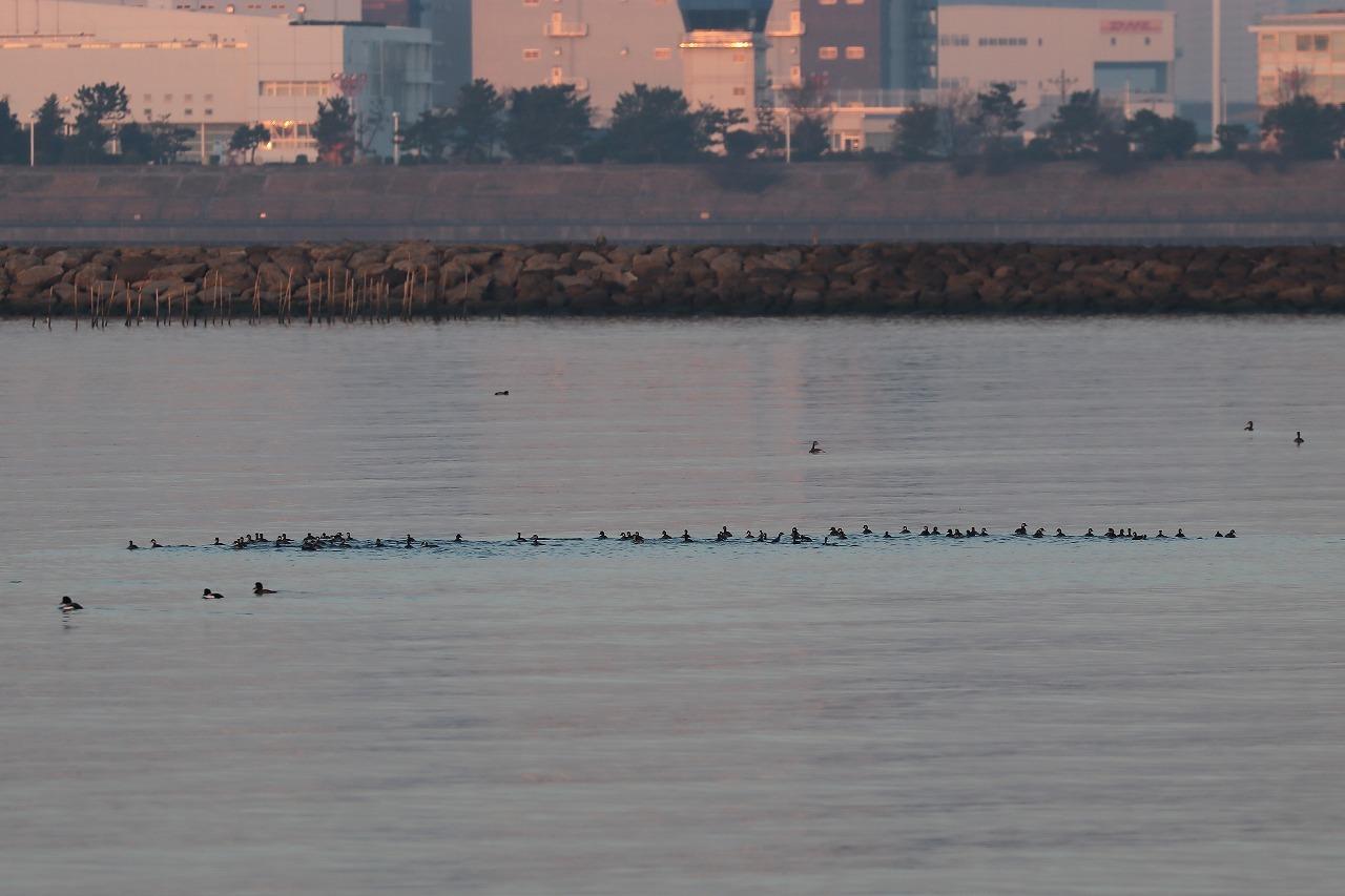 タヒバリとハジロカイツブリの群れ@葛西海浜公園(2021.2.22)_c0403273_19175095.jpg