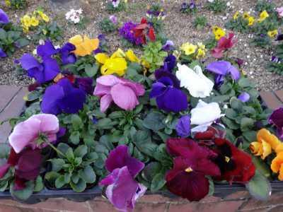 ガーデンふ頭総合案内所前花壇の植替えR3.2.18_d0338682_10184862.jpg