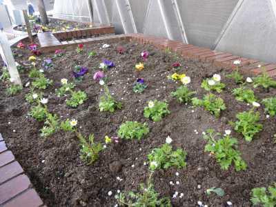 ガーデンふ頭総合案内所前花壇の植替えR3.2.18_d0338682_10205365.jpg