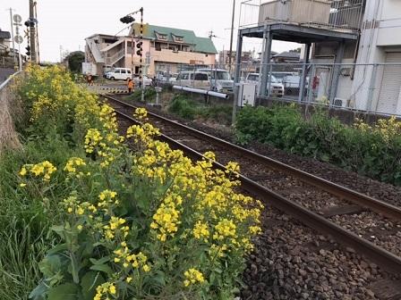 JR指宿枕崎線・坂之上踏切周りで菜の花が_e0130185_13521027.jpg