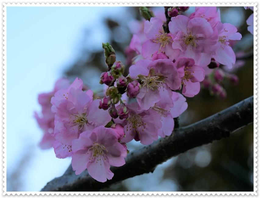 河津サクラが咲き誇り(^^♪_b0364186_17464097.jpg