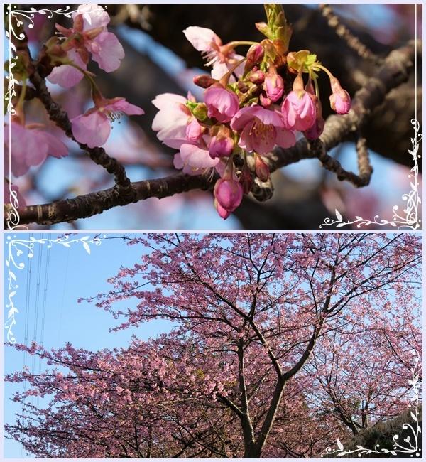 河津サクラが咲き誇り(^^♪_b0364186_17500830.jpg