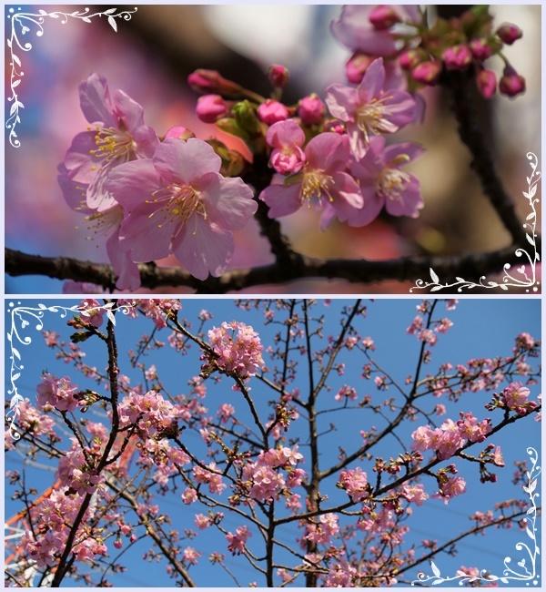 河津サクラが咲き誇り(^^♪_b0364186_17514076.jpg