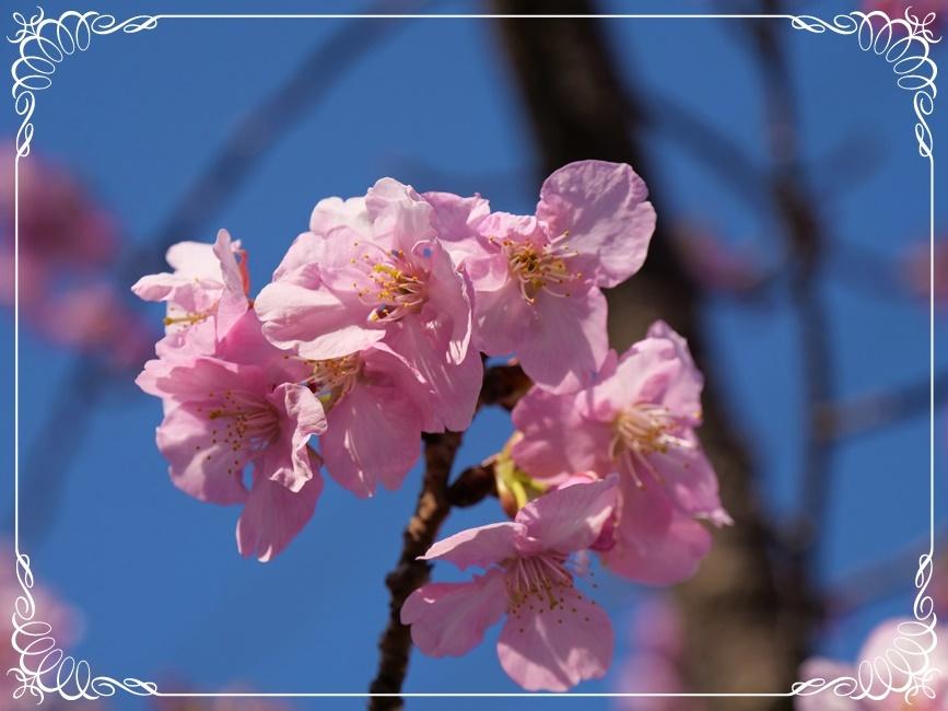 河津サクラが咲き誇り(^^♪_b0364186_17520725.jpg