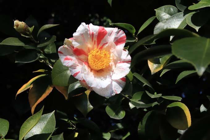 椿も盛りです 城南宮_e0048413_17562941.jpg